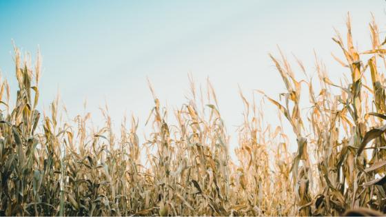 Gli Amidi Modificati: sono OGM? Sono nocivi?