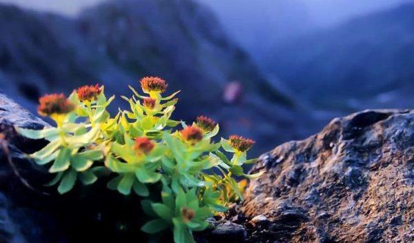 Rhodiola-un-pequeño-tesoro-desde-tierras-gélidas